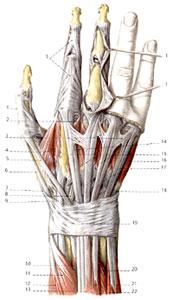 Chirurgische Praxisklinik Kempten Die Hand Anatomische Studien